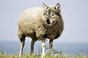 شناسایی گرگ در لباس گوسفند